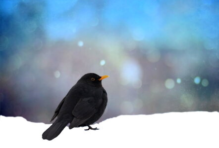 Picture no: 10813883 Amsel Created by: Heike Hultsch