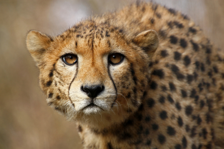 Picture no: 10820753 Gepard Created by: Boersenfuchs