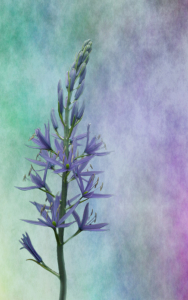 Picture no: 10827511 Camassia Created by: PaulaPanther