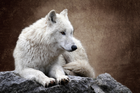 Picture no: 10832377 Der Wolf (Canis lupus) Created by: WildlifePhotography