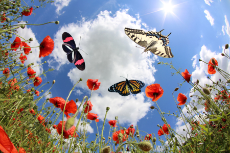 Picture no: 10867510 Butterflies at springtime Created by: Marcel Schauer
