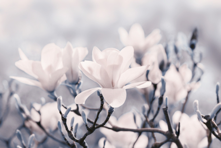 Picture no: 10889834 Magnolienblüte Created by: Atteloi