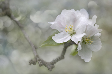 Picture no: 10898344 Appleblossom Created by: Thomas Herzog