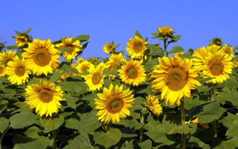 Picture no: 10904606 sunflowers Created by: GUGIGEI