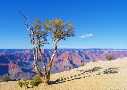 Picture no: 10924647 Baum am Abgrund des Grand Canyons Created by: Buellom