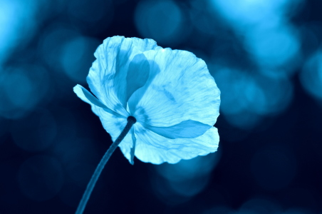Picture no: 10951277 blue poppy Created by: GUGIGEI