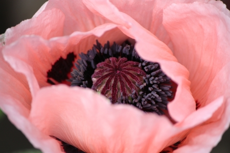 Picture no: 10965027 Papaver Created by: Bettina Schnittert