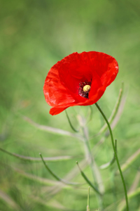 Picture no: 10973818 Mohn im Raps Created by: FotoDeHRO