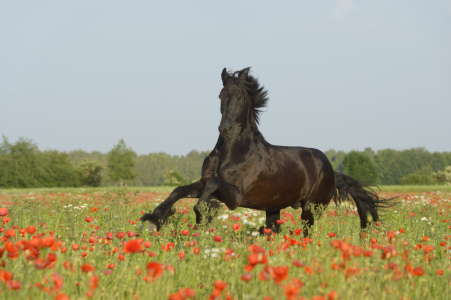 Picture no: 10997372 Friese im Mohn Created by: Manfred Grebler