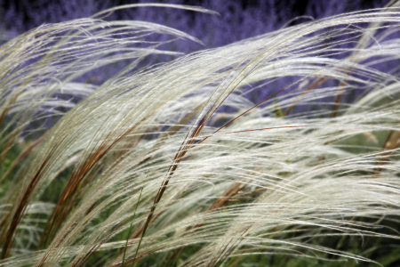 Picture no: 11003648 Federgras    Stipa pennata Created by: Renate Knapp
