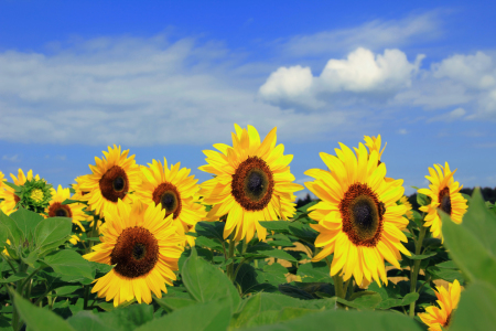 Picture no: 11012036 Sonnenblumen Created by: SusaZoom