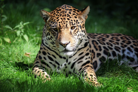 Picture no: 11017650 Jaguar Created by: FotoDeHRO