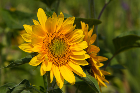 Picture no: 11032041 Helianthus - Sonnenblumen Created by: Ursula  Di Chito