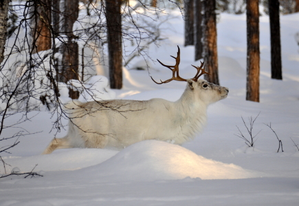 Picture no: 11032333 white reindeer Created by: GUGIGEI