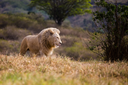 Picture no: 11042787 African Lion Created by: TomKli
