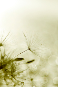 Picture no: 11086815 Pusteblume Created by: Jana Behr