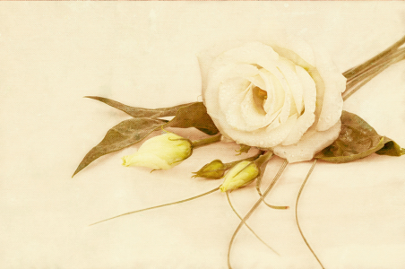 Picture no: 11109937 Rose auf Canvas Created by: Lichtbildmanufaktur