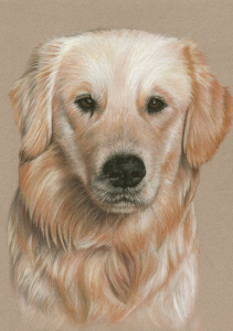 Picture no: 11118432 Golden Retriever Porträt Created by: NicoleZeug