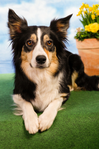 Picture no: 11133940 Bordercollie Created by: Horsepictures24