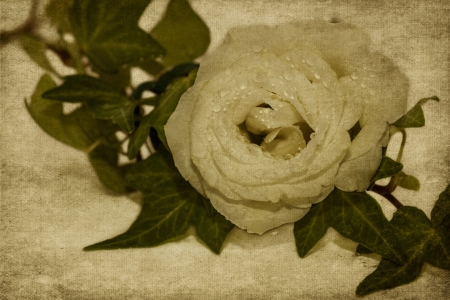 Picture no: 11158660 Stillleben mit Rose Created by: Lichtbildmanufaktur