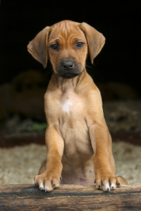Picture no: 11185654 Rodesien Ridgeback Created by: Horsepictures24