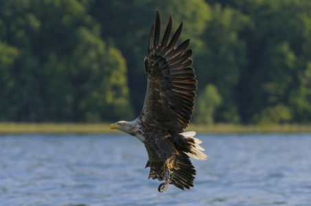 Picture no: 11200722 Seeadler mit Beute Created by: cibo