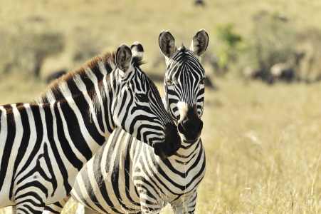Picture no: 11204958 Zebras beim Flirt Created by: KundenNr-160338