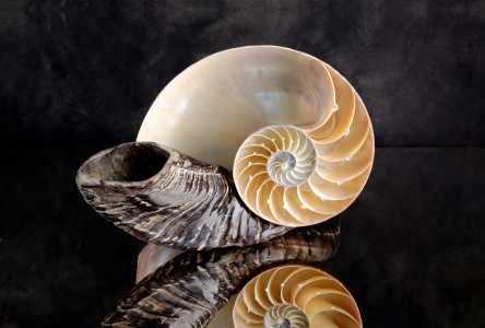 Picture no: 11212876 Nautilus auf Horn Created by: Rolf Eschbach