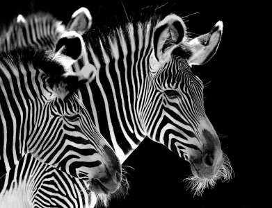 Picture no: 11267078 1,2 Zebra Created by: Steffen Henze