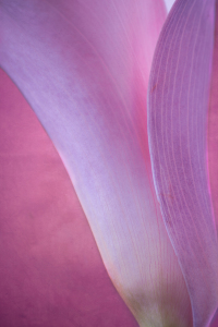Picture no: 11269946 calla - Schönheit in pink Created by: hannes cmarits
