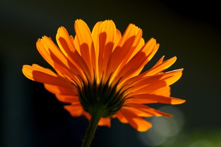 Picture no: 11272752 Calendula Created by: youhaveadream