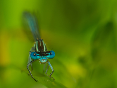 Picture no: 11273414 Hufeisen-Azurjungfer - Coenagrion puella Created by: Richard-Young