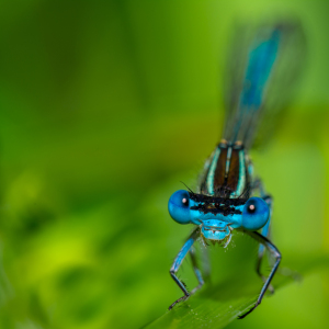 Picture no: 11276128 Hufeisen-Azurjungfer - Coenagrion puella Created by: Richard-Young