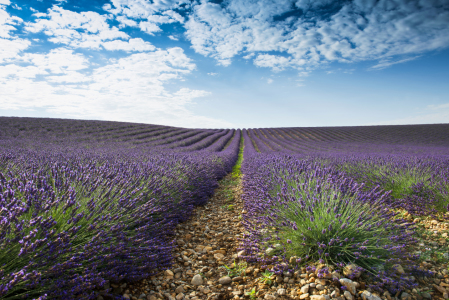 Picture no: 11321892 Lavendel 5 Created by: danielschoenen