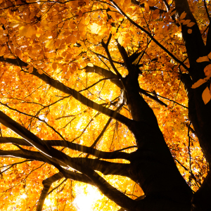 Picture no: 11329539 Herbstbaum Created by: SP10