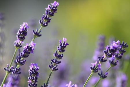 Picture no: 11338655 Lavendel Created by: Gerhard Albicker