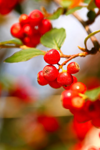 Picture no: 11340596 Cotoneaster Created by: falconer59