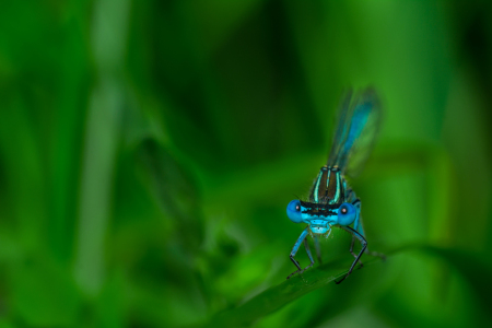 Picture no: 11342374 Hufeisen-Azurjungfer - Coenagrion puella Created by: Richard-Young