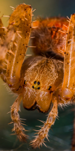 Picture no: 11367509 Kreuzspinne , Araneus Created by: Richard-Young