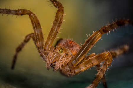 Picture no: 11367515 Kreuzspinne , Araneus Created by: Richard-Young