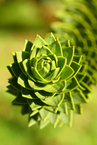 Picture no: 11376997 Araucaria Created by: falconer59