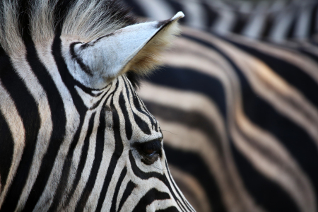 Picture no: 11380075 Zebradetail Created by: Marcel Schauer