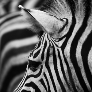 Picture no: 11380079 Zebradetail II Created by: Marcel Schauer