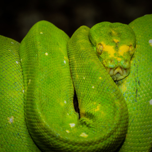 Picture no: 11384395 Grüner Baumpython  - Morelia viridis  Created by: Richard-Young