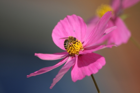Picture no: 11387897 Cosmea mit Biene Created by: KundenNr-275381