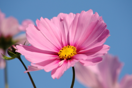 Picture no: 11388593 Cosmea Created by: KundenNr-275381