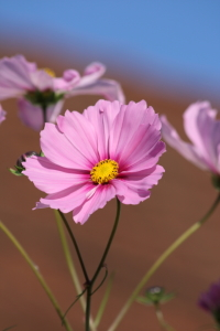 Picture no: 11388601 Cosmea Created by: KundenNr-275381