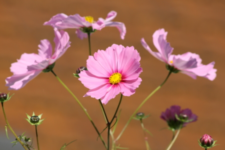 Picture no: 11388605 Cosmea Created by: KundenNr-275381