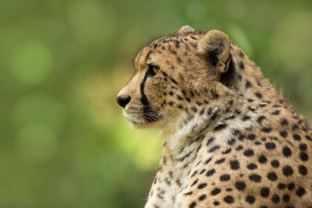 Picture no: 11439366 Gepard Created by: Thomas Herzog