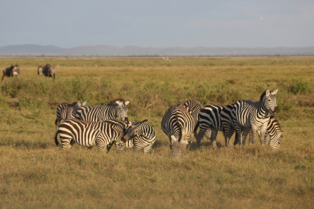 Picture no: 11463697 Zebras Created by: Metalmaus